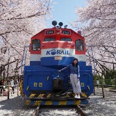 【韓國櫻花】鎮海櫻花滿開了!韓國最大櫻花慶典!34萬棵韓櫻!
