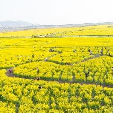 韓國最大油菜花田節~洛東江油菜花慶典