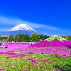 日本限定!春日粉紅地毯芝櫻賞花去~(含交通資訊)